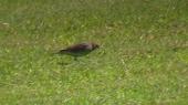 ムネアカタヒバリが虫をゲット