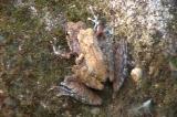 ヌマガエルの雌雄
