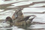 大瀬川にカモが三羽
