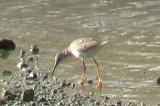 大瀬川にもアカアシシギが