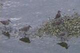 大瀬川にもハマシギの群れ