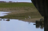 大瀬川を飛び交うユリカモメ