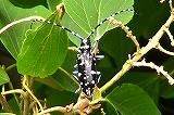 オオシマゴマダラカミキリ(柑橘類の害虫)
