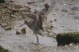 オオソリハシシギの水浴び