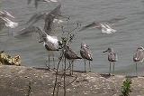 留鳥化したアオアシシギ