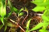 リュウキュウギンヤンマの産卵