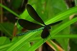 リュウキュウハグロトンボ(雄)の羽ばたき