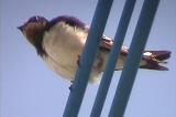 リュウキュウツバメの羽繕い