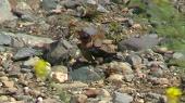 リュウキュウツバメの陸上補食