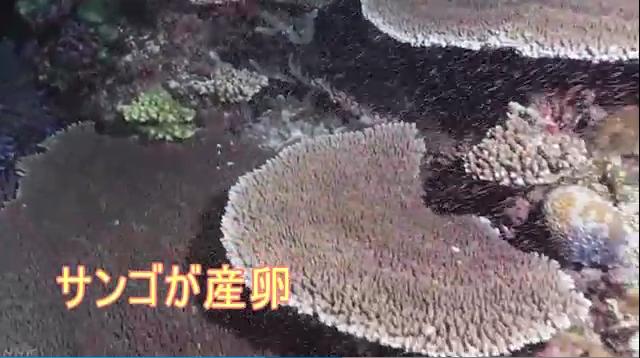 沖縄の海でサンゴ産卵