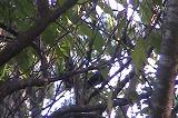 サンコウチョウとイソヒヨドリの戦い