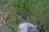 ササゴイの幼鳥(大瀬川)