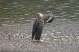 ササゴイ(幼鳥)の羽繕い