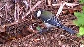 アマミシジュウガラの幼鳥