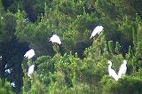 白鷺たちのねぐら