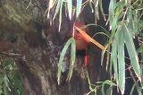 巣ごもり中のアカショウビン