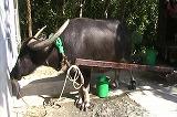 水牛の放尿