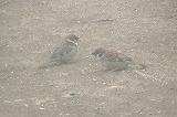 スズメの砂遊び