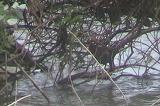 諸田池のバン