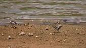 諸田池の渡り鳥たち