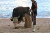 徳之島の闘牛「笑軍号」