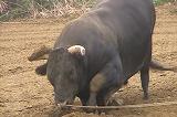 闘牛のトレーニング風景