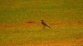 ツメナガセキレイ(幼鳥)