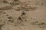 ツノメガニの雌雄