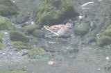 ウズラシギ(夏羽)