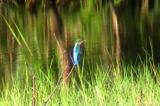 和瀬池のカワセミ