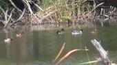 和瀬池のヨシガモ