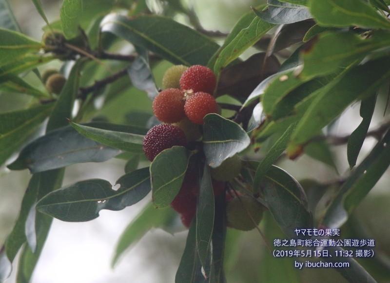 ヤマモモの果実