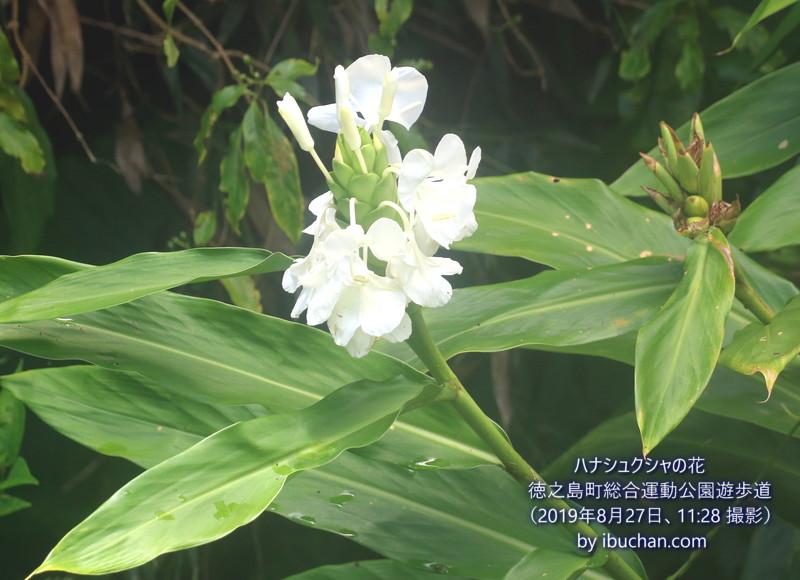 ハナシュクシャの花
