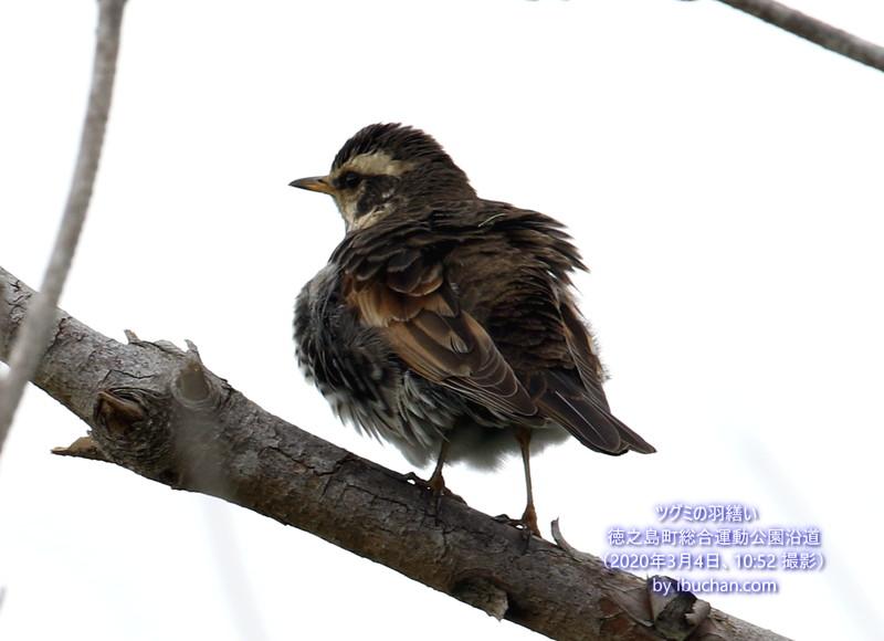 ツグミの羽繕い