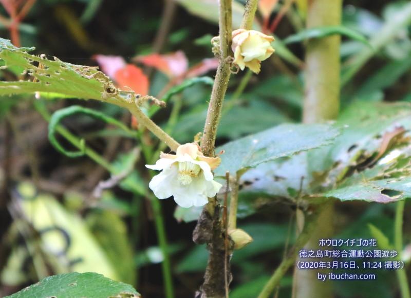 ホウロクイチゴの花