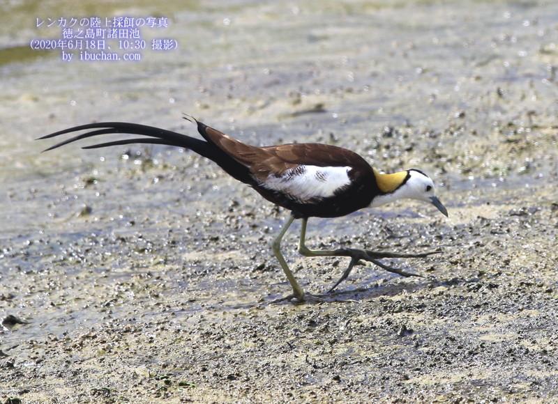 レンカクの陸上採餌の写真