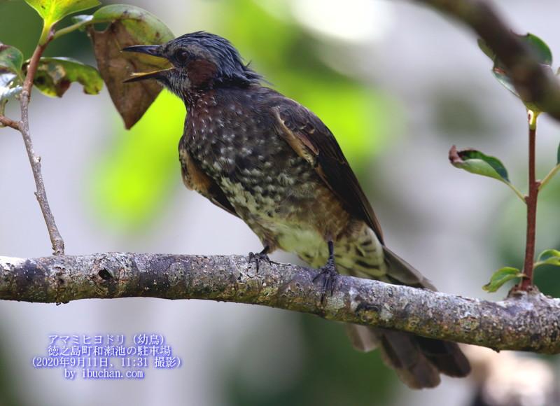 アマミヒヨドリ(幼鳥)