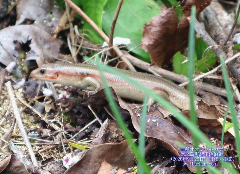 亜種オオシマトカゲ