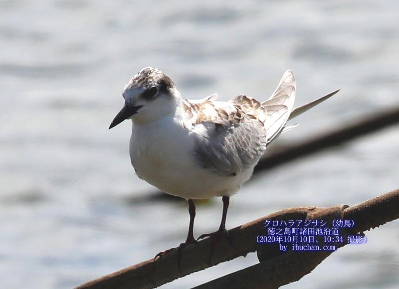 クロハラアジサシ(幼鳥)