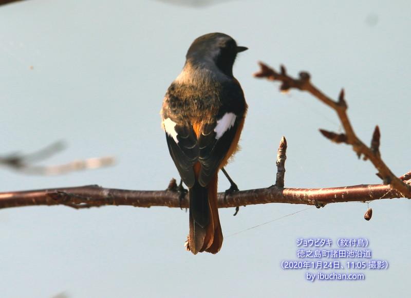 ジョウビタキ(紋付鳥)