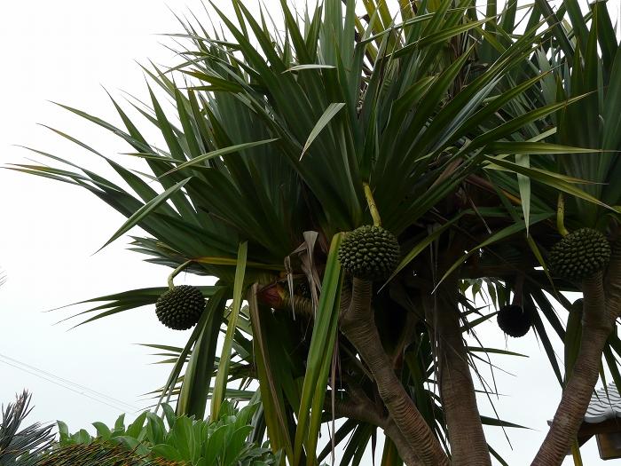 ビョウタコの木  (マダガスカル産)