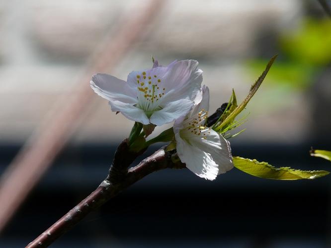 初夏にサクラが咲いた!