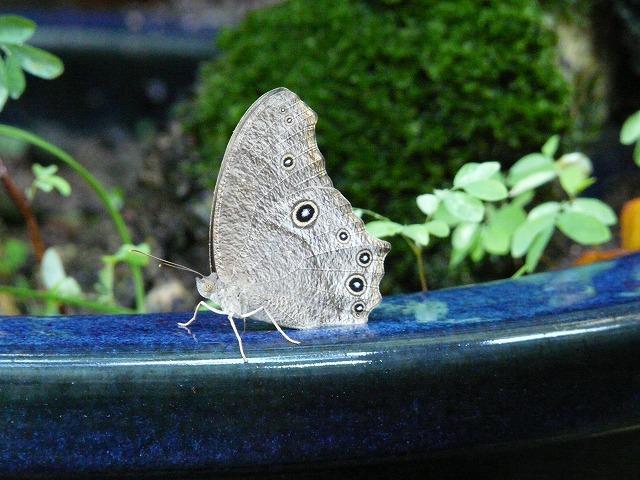 ウスイロコノマチョウ(夏型)