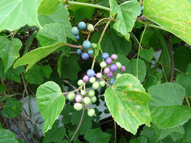 テリハノブドウ