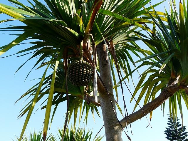 ビョウタコの木