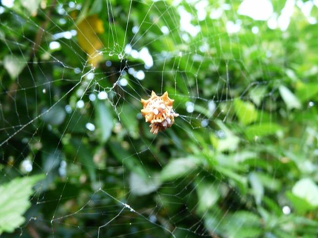 チブサトゲグモ