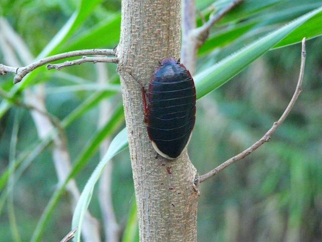 サツマゴキブリ♂