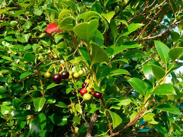 ギーマの果実