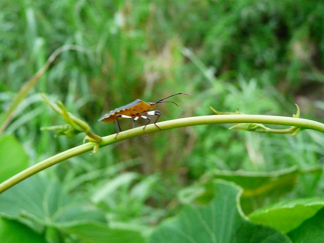 キバラヘリカメムシ