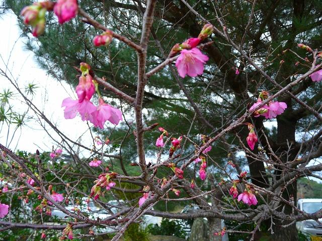 カンヒザクラ(寒緋桜)